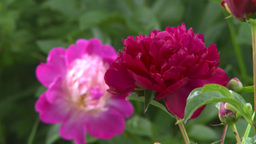 HD2008-7-2-9 flowers peonies rack focus Stock Video Footage