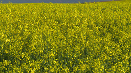 HD2008-6-7-5 canola evening Z Stock Video Footage