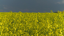 HD2008-6-7-7 canola evening Footage