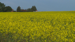 HD2008-6-7-9 canola evening Stock Video Footage