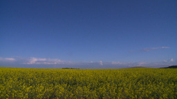 HD2008-6-7-11 canola evening Stock Video Footage