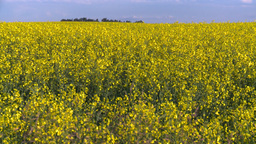 HD2008-6-7-13 canola evening Z in Stock Video Footage