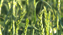 wheat evening Footage