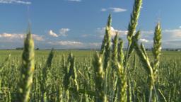 wheat evening Stock Video Footage