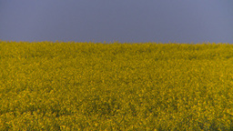 HD2008-6-7-41 canola evening Stock Video Footage
