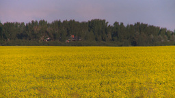 HD2008-6-7-43 canola evening Stock Video Footage