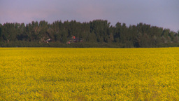 HD2008-6-7-43 canola evening Footage