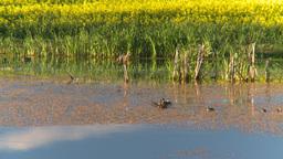 HD2008-6-7-47 duck pond evening Footage