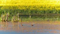 HD2008-6-7-51 canola duck pond evening Stock Video Footage
