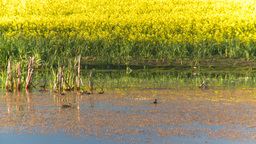 HD2008-6-7-51 canola duck pond evening Footage