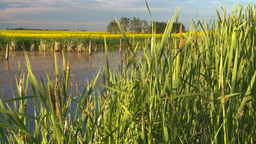 HD2008-6-7-59 reeds canola pond evening Footage