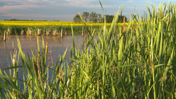 HD2008-6-7-59 reeds canola pond evening Stock Video Footage