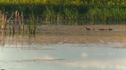 HD2008-7-7-3 pond ducks field evening Footage