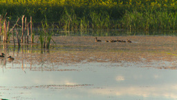 HD2008-7-7-3 pond ducks field evening Stock Video Footage