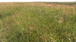 HD2008-7-10-4 wild grass blowing in wind Stock Video Footage