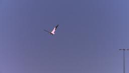 HD2008-7-14-1 pelican flight Stock Video Footage