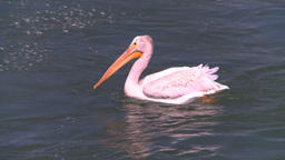 HD2008-7-14-3 pelican on river Stock Video Footage