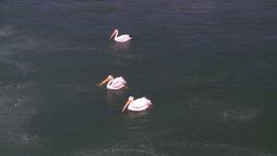 HD2008-7-14-5 pelicans on river Stock Video Footage
