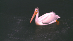 HD2008-7-14-7 pelican on river Stock Video Footage