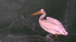 HD2008-7-14-9 pelicans on river Stock Video Footage