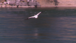 HD2008-7-14-11 pelican flight Stock Video Footage