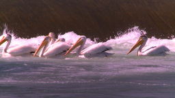 HD2008-7-14-19 weir pelicans Stock Video Footage