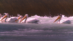 HD2008-7-14-19 weir pelicans Stock Video Footage