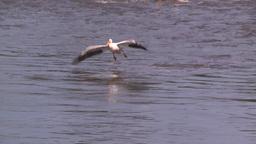 HD2008-7-15-11 pelicans Stock Video Footage