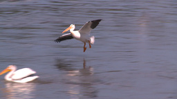 HD2008-7-15-11 pelicans Stock Video Footage