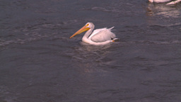 HD2008-7-15-13 pelicans Stock Video Footage