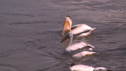 HD2008-7-15-15 pelicans feeding Footage