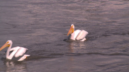 HD2008-7-15-15 pelicans feeding Stock Video Footage