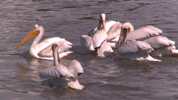 HD2008-7-15-17 pelicans feeding Footage