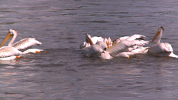 HD2008-7-15-17 pelicans feeding Stock Video Footage