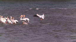 HD2008-7-15-19 pelicans Stock Video Footage