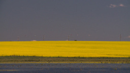 HD2008-7-15-39 canola fields Stock Video Footage