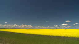 HD2008-7-15-55 canola fields Footage