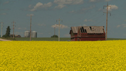 HD2008-7-15-59 canola fields Footage