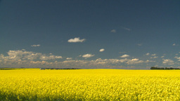 HD2008-7-15-61 canola fields Stock Video Footage