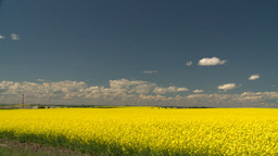 HD2008-7-15-63 canola fields Stock Video Footage