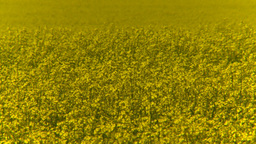 HD2008-7-15-65 canola fields Footage