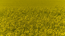 HD2008-7-15-65 canola fields Stock Video Footage