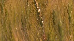 HD2008-7-15-69 wheat Stock Video Footage