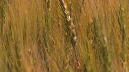 HD2008-7-15-69 wheat Stock Video Footage