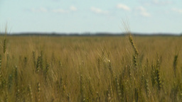 HD2008-7-15-71 wheat Stock Video Footage