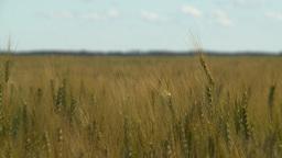 HD2008-7-15-71 wheat Stock Video Footage