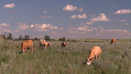 HD2008-7-15-75 cattle Stock Video Footage