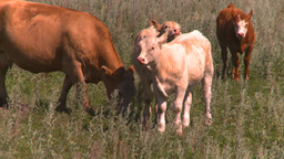 HD2008-7-16-1 cattle Stock Video Footage