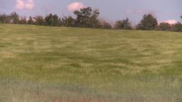 HD2008-7-16-11 wavy barley Footage