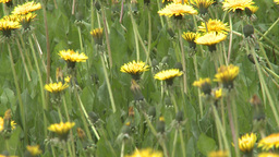 HD2008-6-1-10 dandelions Stock Video Footage